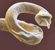 Lungworm screening - Greendale Veterinary Diagnostics